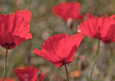 gallery-poppies